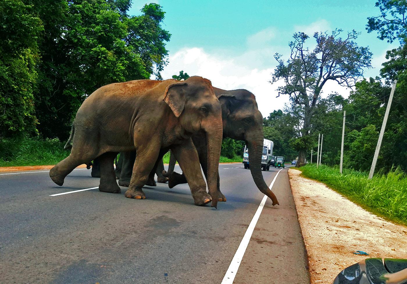 Sri Lanka Elefantes