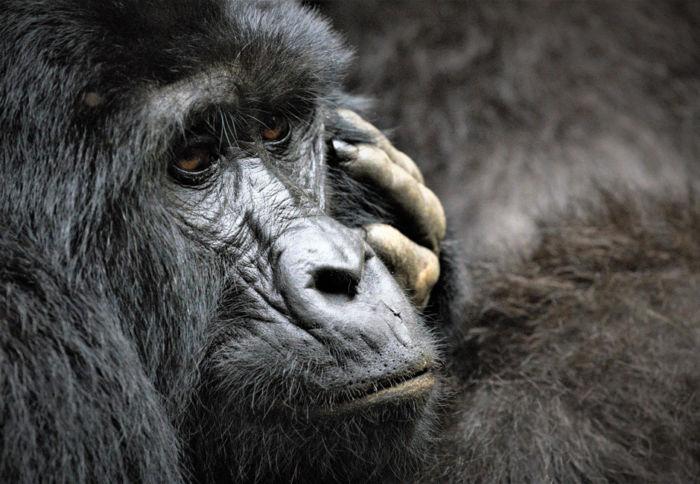 uganda gorilas bwindi