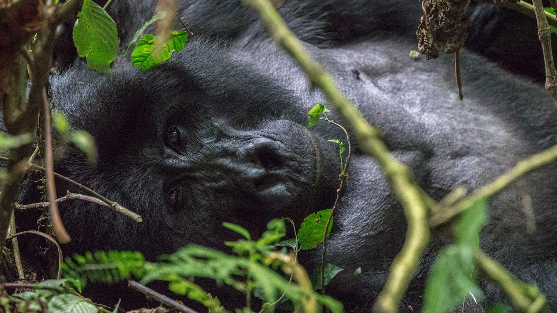 primer plano Gorila. Uganda