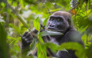 gorilas de llanura gabón