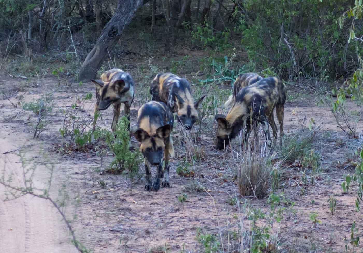 licaones sudafrica