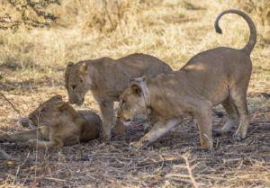 zakouma national park, león en zakouma