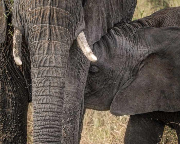 Elefante mamando Tanzania